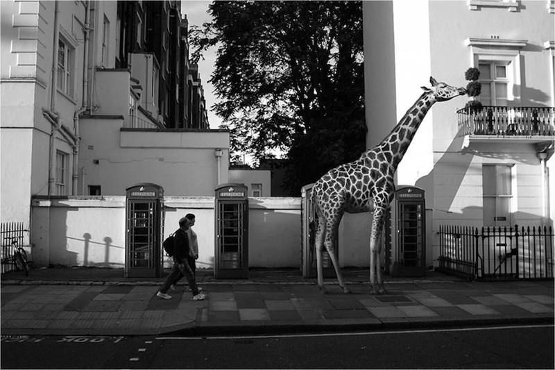 Giraffe - LOL