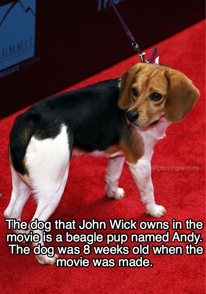 Dog - UMMIT NSGATE @poppingremlins The dog that John Wick owns in the movie is a beagle pup named Andy. The dog was 8 weeks old when the movie was made.