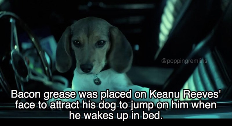 Dog breed - @poppingremlins Bacon grease was placed on Keanu Reeves' -face to attract his dog to jump on him when he wakes up in bed.