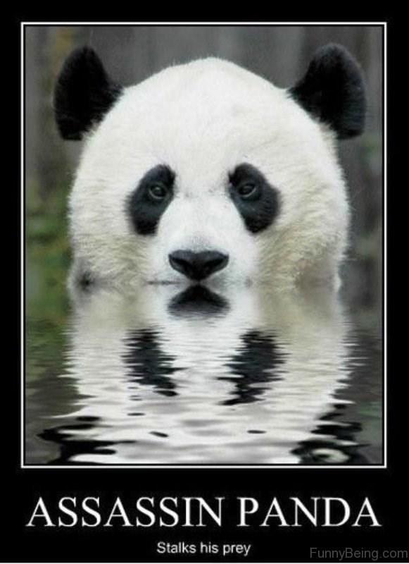 Panda - ASSASSIN PANDA Stalks his prey FunnyBeing.com