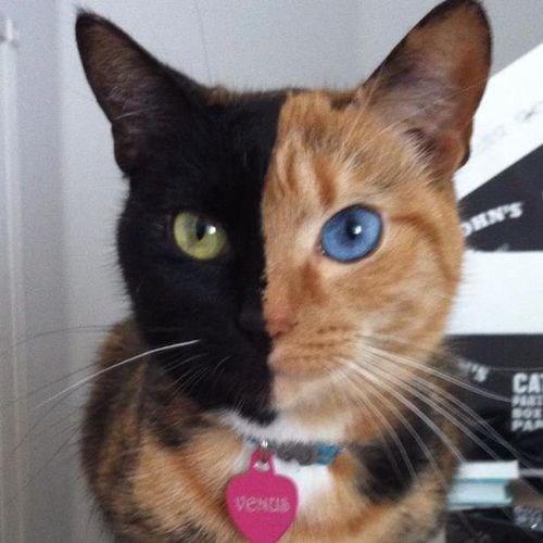 Cat - HN'S CA P veNus