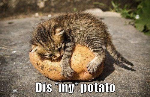cat meme - Cat - Dis iny potato