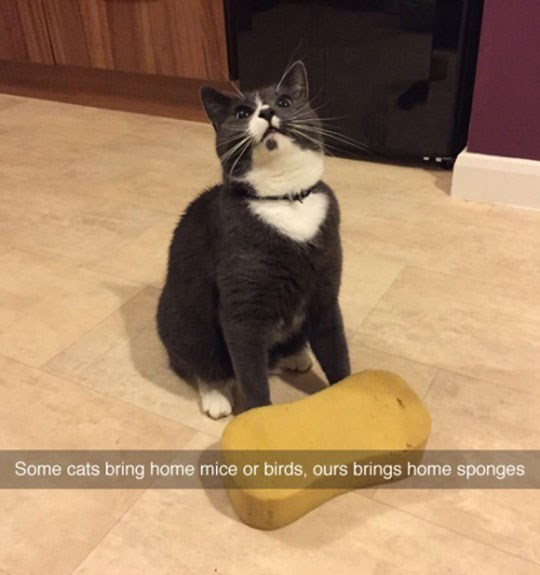 Funny picture of a cat that brought home a sponge.