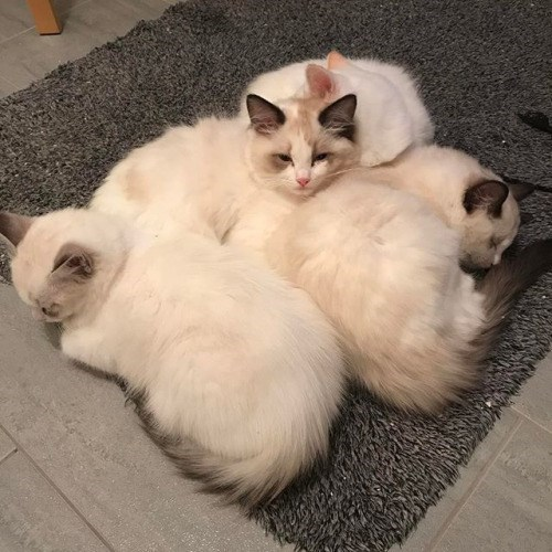 Cute picture of fluffy white cats relaxing all over each other.