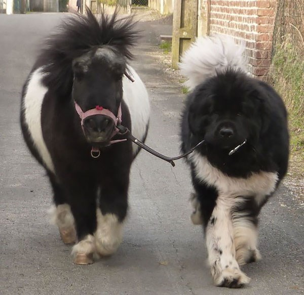 Cute dog and pony that are practically twins and you can't tell them apart.