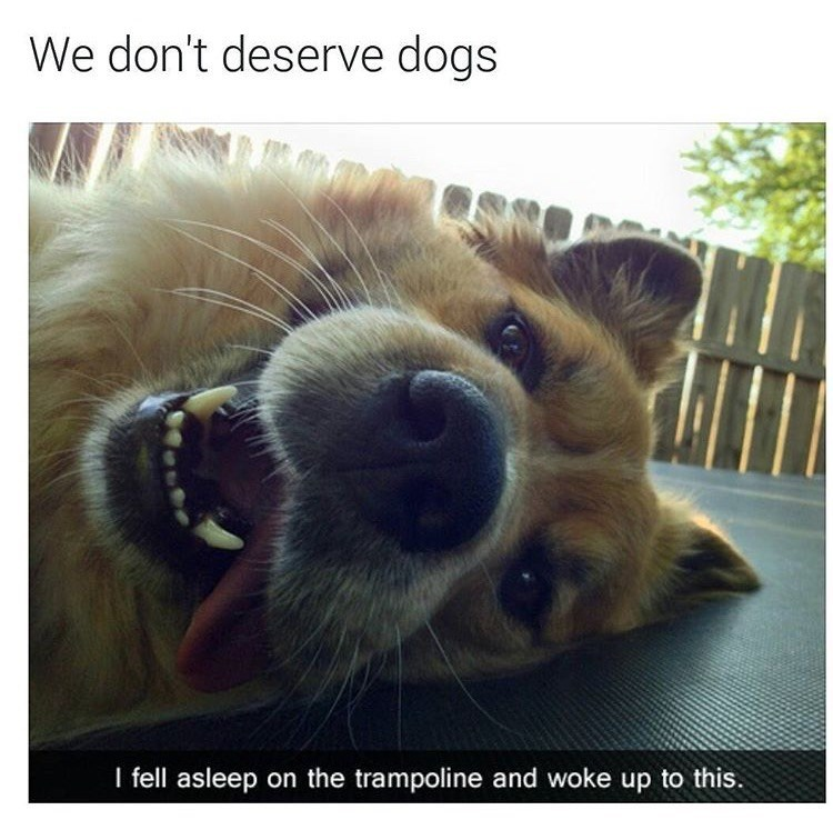 dog meme that laid next to his owner on the trampoline with his tongue out