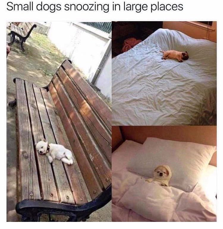 dog meme of a small dog sleeping in places that are much bigger than it is
