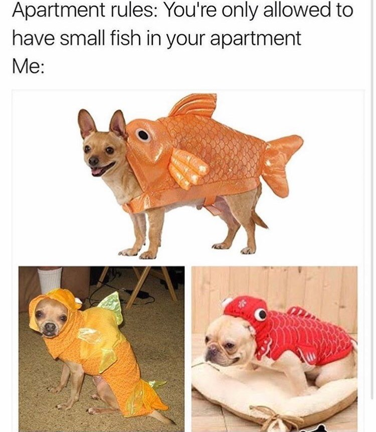 dog meme of small dogs wearing fish costumes