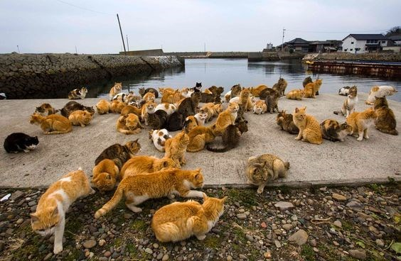 Many cats hanging out at feeding time in Aoshima the cat island in Japan
