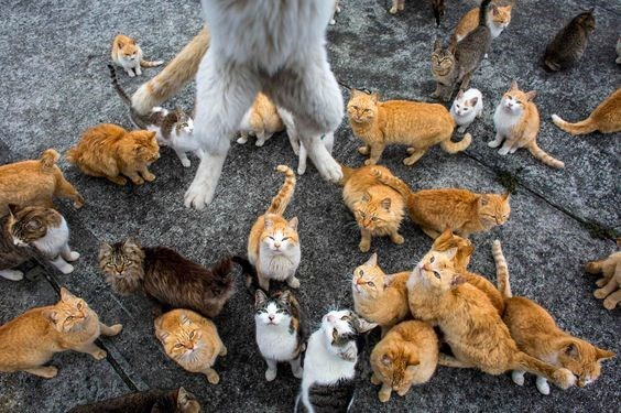 Cool pictures of cats gathering and one jumping on the Aoshima island of cats in Japan.