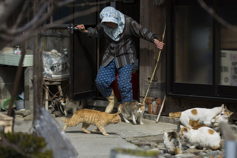 Villager with a hooded top and a stick herds the cats of Aoshima Island in Japan.