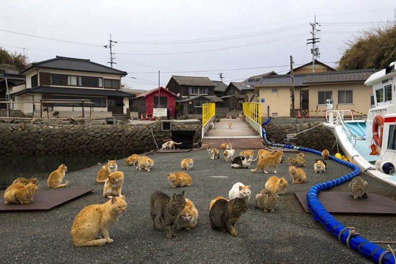 Many cats waiting by the water in Aoshima in Japan, next to a thick blue pipe.