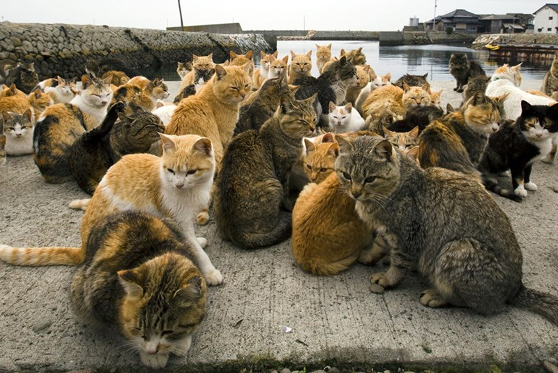 Massive horde of cats hanging out near the seaside in Aoshima Japan.
