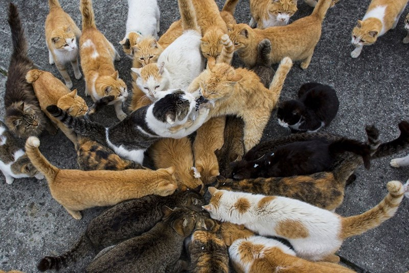 Cats in Aoshima island converging on some delicious cat food and jumping over one another.
