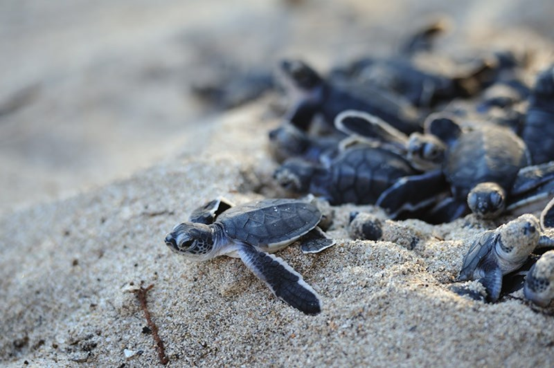 how to help turtle hatchlings safely get from their nest to the ocean