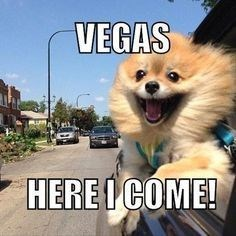 Funny picture meme of a dog with his head out the window of a car, all excited about going to Las Vegas.