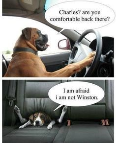 Funny meme of funny pictures of dogs driving or otherwise riding in a car.
