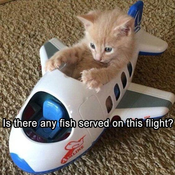 Funny meme of a cat in a toy airplane asking if this flight has fish served.