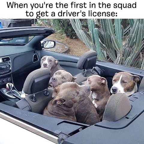 Funny dog meme of when you are the first to get your license among your friends.