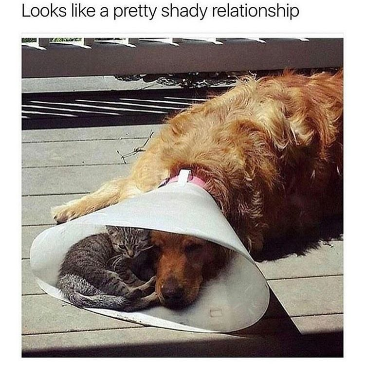 Dog has cone around his head, but a cat can fit inside and get shade from the sun.
