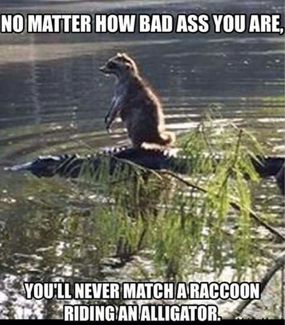 Funny picture of a meme of a raccoon riding an alligator.