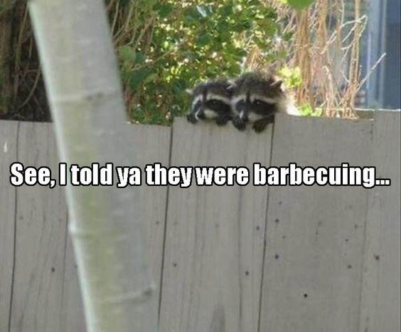 Funny raccoons looking of the fence.