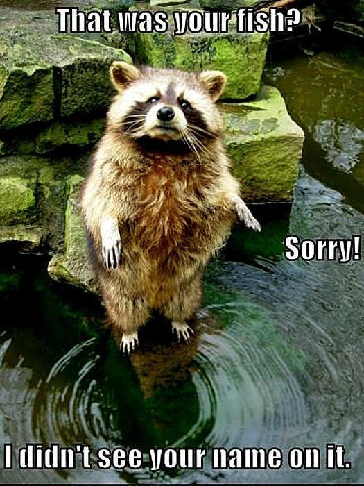 Funny picture of a raccoon standing on a rock in a pond and saying sorry for eating your fish.