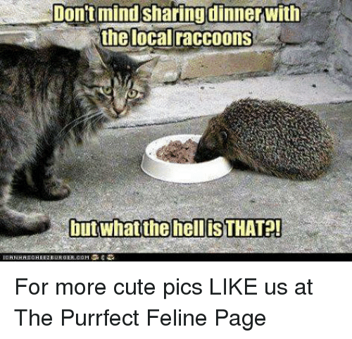 Funny picture of a cat sharing dinner with a raccoon or something that looks like one.