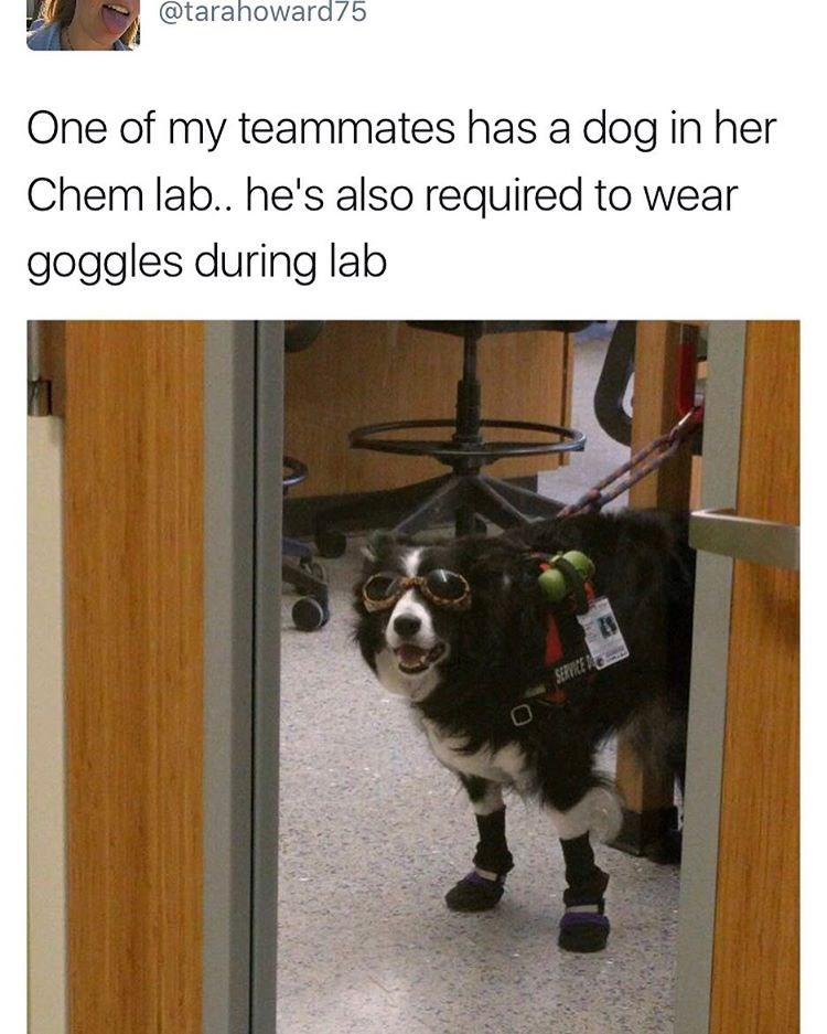 There's a dog in a chemistry lab who is required to wear safety goggles like everyone else.