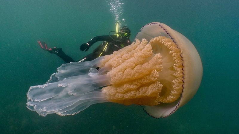 Monster Jellyfish - Huge human-sized jellyfish found off the Cornwall UK coast