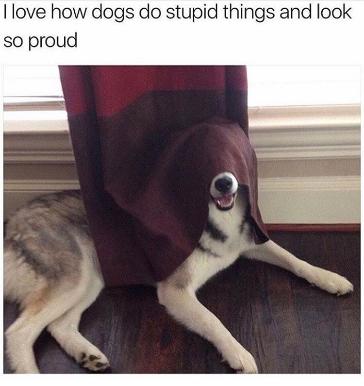 Funny dog meme of how dogs are proud of doing stupid things, like this dog wearing the curtain as a mask.