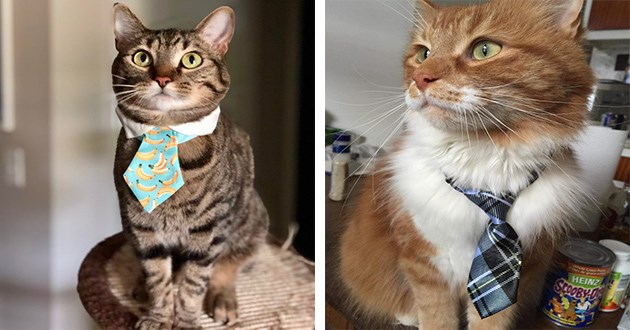 business cats animals handsome