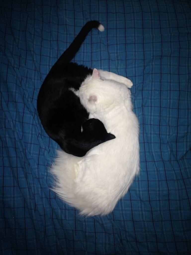 Cute yin yang cats