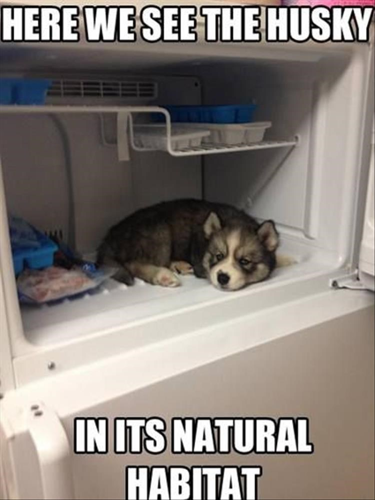 dogs puppies huskies animals - 9032480768