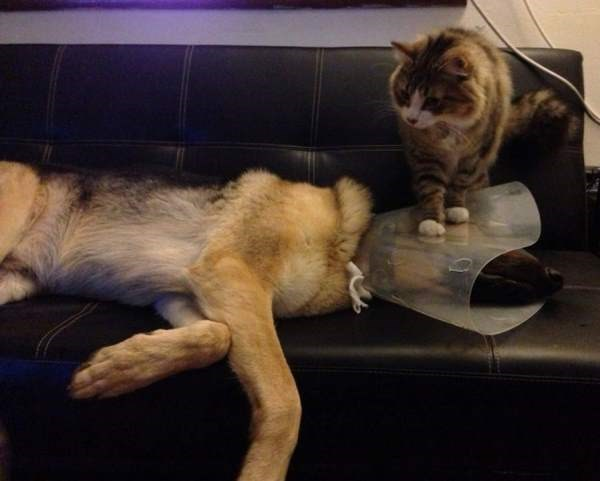 Cat stepping on dogs head and protective cone to show he can be a jerk.