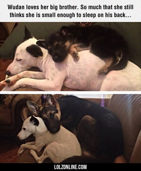 dogs sleeping animals brothers - 9032510976