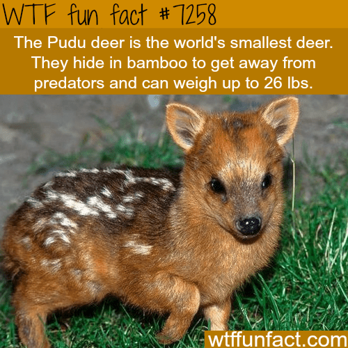 Vertebrate - WTF fun fact #7258 The Pudu deer is the world's smallest deer. They hide in bamboo to get away from predators and can weigh up to 26 lbs. wtffunfact.com