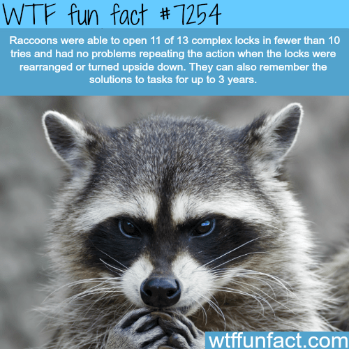 Procyon - WTF fun fact #7254 Raccoons were able to open 11 of 13 complex locks in fewer than 10 tries and had no problems repeating the action when the locks were rearranged or turned upside down. They can also remember the solutions to tasks for up to 3 years. wtffunfact.com