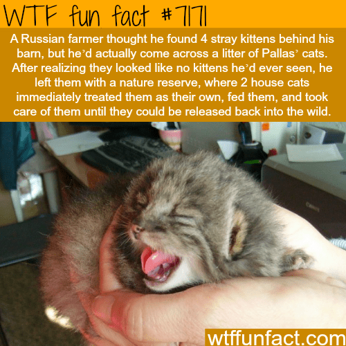 Cat - WTF fun fact # 171 A Russian farmer thought he found 4 stray kittens behind his barn, but he'd actually come across a litter of Pallas cats. After realizing they looked like no kittens he'd ever seen, he left them with a nature reserve, where 2 house cats immediately treated them as their own, fed them, and took care of them until they could be released back into the wild. wtffunfact.com