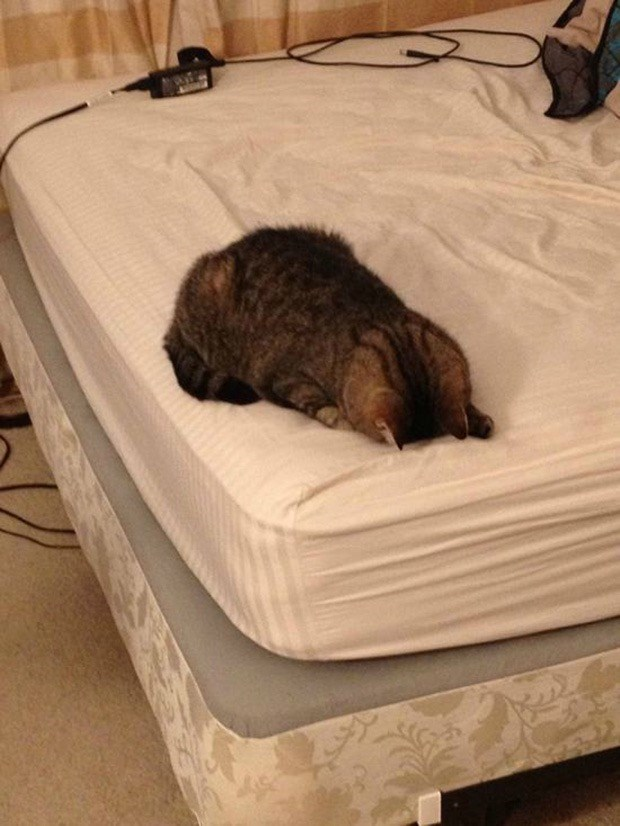 Funny picture of a cat face planting on the bed
