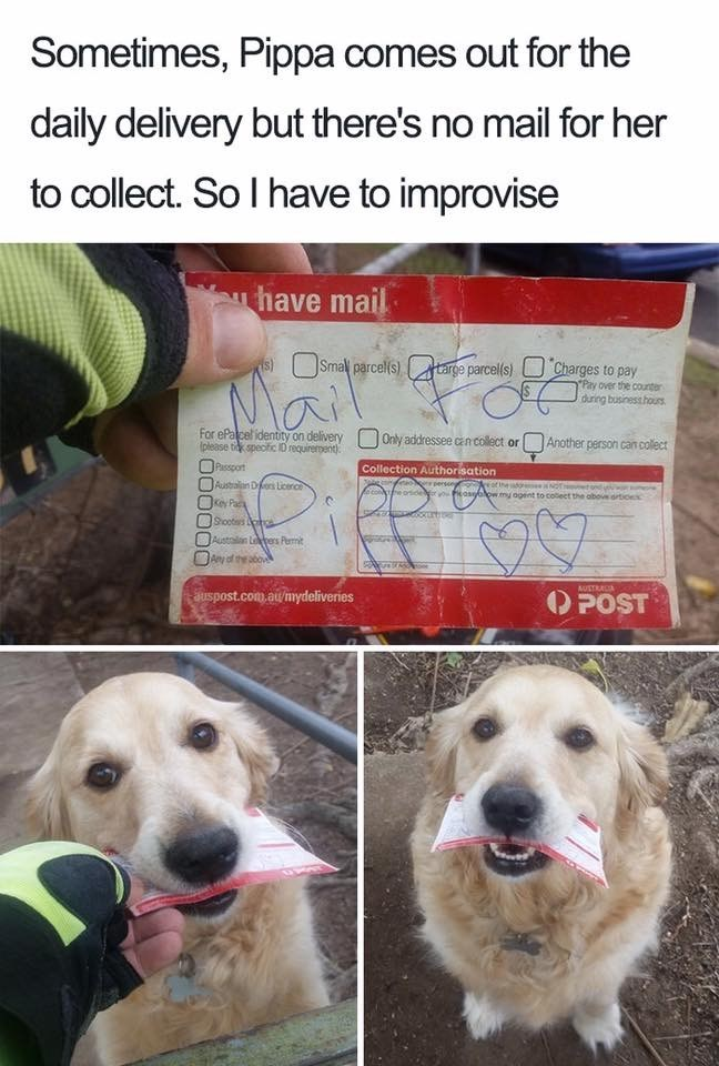 Cute meme of a dog named Pippa that is ready to get the main everyday, so the postman improvises when there is no mail.