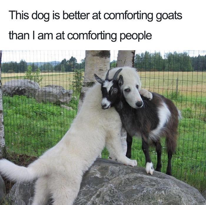 Funny meme about a dog that is better at calming down this goat than I am at calming people.