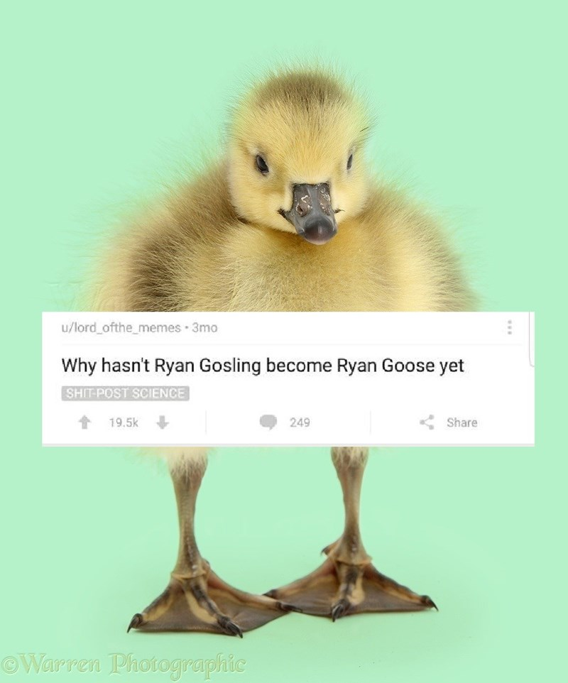 Bird - u/lord ofthe_memes 3mo Why hasn't Ryan Gosling become Ryan Goose yet SHIT-POST SCIENCE 19.5k Share 249 OWarren Photographic