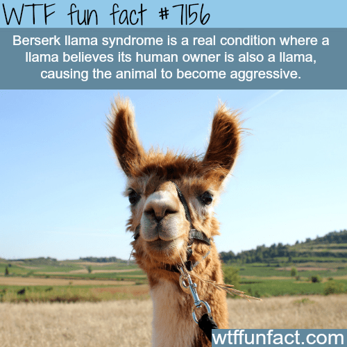 Llama - WTF fun fact #156 Berserk llama syndrome is a real condition where a llama believes its human owner is also a llama, causing the animal to become aggressive. wtffunfact.com