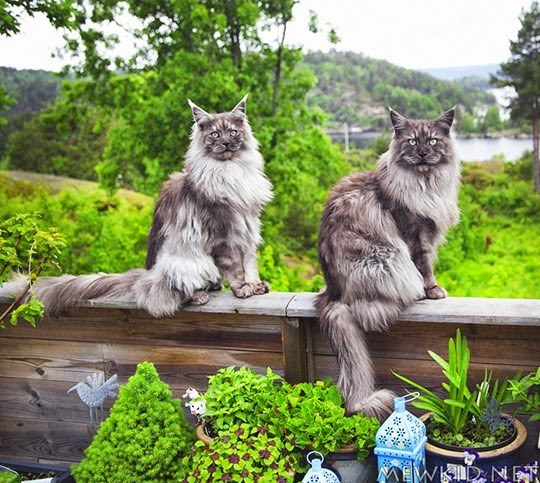 Majestic looking cats in Denmark.