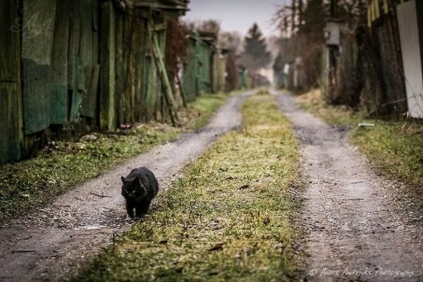 Fat cat walking down old village road in Latvia.