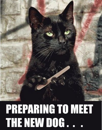 Black cat meme - filing the nails in preparation of meeting the new dog.