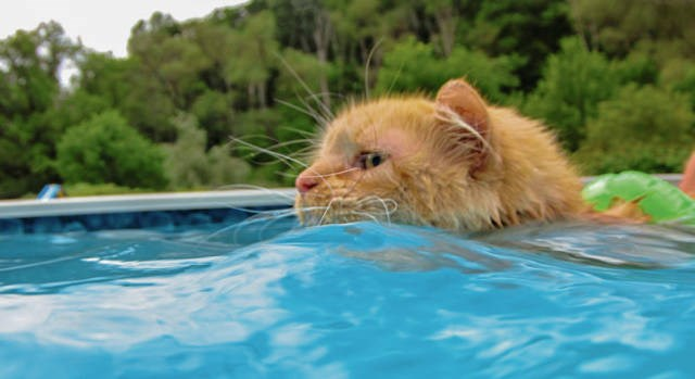 swimming cat summer heat