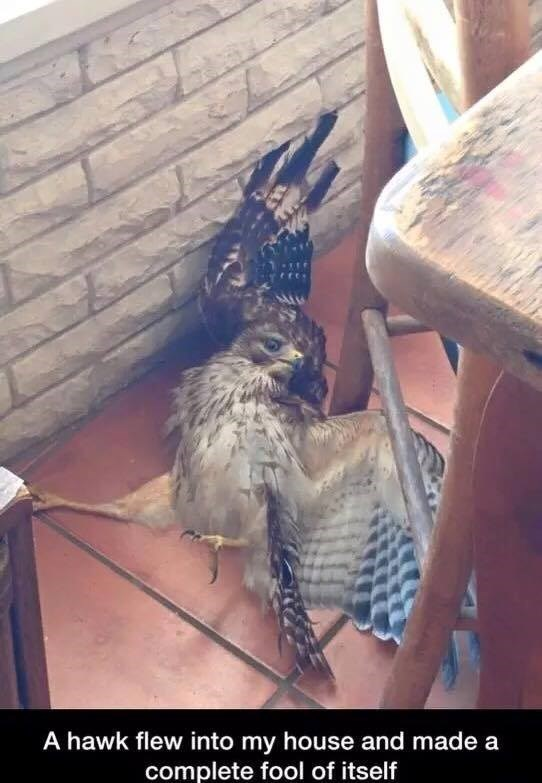 bird meme with pic of hawk laying dramatically on the floor