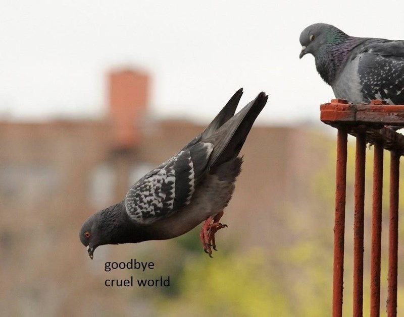 bird meme with pic of pigeon committing suicide by jumping from roof
